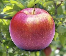 Jabuke ubrzavaju sazrijevanje drugog voća