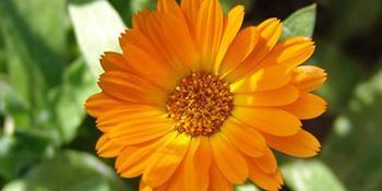 Neven - biljka za sto bolesti