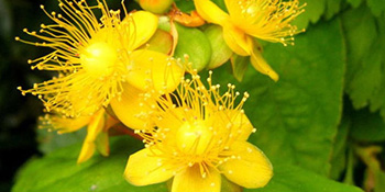 Kantarion - biljni prozak