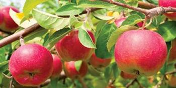 Za šta sve mogu da nam koriste jabuke