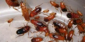 Kako da se riješite napasnih žohara?
