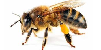 Spriječite bol i oticanje od uboda pčele ili ose