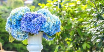 Hortenzija - Veličanstveni kameleon među cvijećem