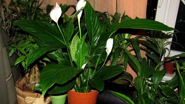 Ljekovita svojstva sobnih biljaka ! – Dobar izbor – Web portal za vaš dobar i...
