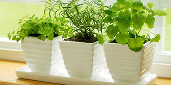 Uzgoj začinskog bilja u zatvorenom