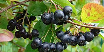 Aronija – najjači dosad poznati antioksidant