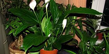 Ljekovita svojstva sobnih biljaka