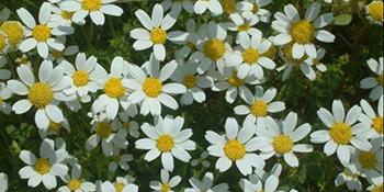 Kamilica-sveta biljka Boga Sunca
