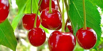 Znate li koliko su trešnje zdrave?