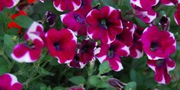 Petunija - omiljeno balkonsko cvijeće